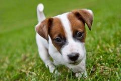 Os puppys pequenos são de passeio e de jogo na rua na grama Imagem de Stock Royalty Free