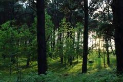 Os raios de sol derramam através das árvores na floresta verde fotos de stock royalty free
