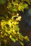 Os raios do outono do sol iluminam as folhas de bordo amarelas Imagens de Stock Royalty Free