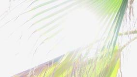 Os raios do sol fazem sua maneira através das folhas da palmeira Efeito bonito do alargamento da lente Dia ensolarado morno im tr video estoque