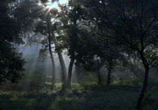 Os raios do sol na floresta Imagens de Stock Royalty Free