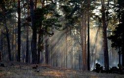 Os raios do sol na floresta do pinho Imagens de Stock
