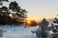 Os raios do sol na floresta do pinho do inverno no mar Báltico Fotografia de Stock Royalty Free