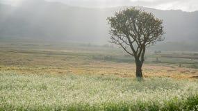 os raios na mostarda colocam com a flor branca em DonDuong - Dalat- Vietname fotos de stock royalty free