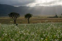 os raios na mostarda colocam com a flor branca em DonDuong - Dalat- Vietname imagens de stock