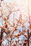 Os ramos brancos bonitos de Cherry Blossom na mola jardinam naughty imagens de stock