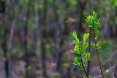 Os ramos da árvore são mola na floresta que as folhas alaranjadas novas crescem foto de stock royalty free