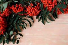 Os ramos da cinza de montanha vermelha amadureceram no outono foto de stock