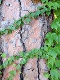 Os ramos da hera verde nova Imagem de Stock Royalty Free