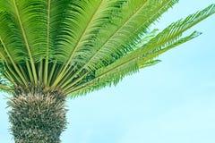 Os ramos da palma aumentaram para a parte superior imagem de stock royalty free