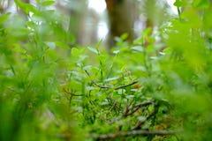 Os ramos da uva-do-monte fotografia de stock
