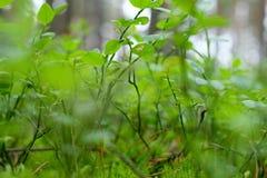 Os ramos da uva-do-monte fotografia de stock royalty free