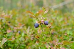 Os ramos da uva-do-monte foto de stock royalty free