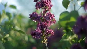 Os ramos das árvores com as flores lilás bonitas balançam no vento em um dia de verão morno no jardim nave filme
