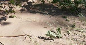 Os ramos das plantas na areia são movidos por um forte vento filme
