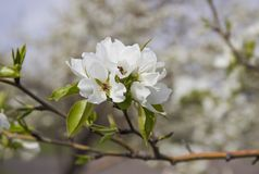 Os ramos de Apple cobriram fotos de stock royalty free