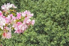 Os ramos de florescência da cereja oriental Fotografia de Stock