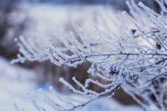 Os ramos de Frost fecham-se acima, tempo frio Fotos de Stock