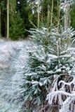 Os ramos de pinheiro cobertos de neve fecham-se acima Imagem de Stock