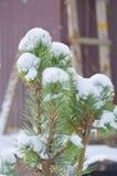 Os ramos de pinheiro cobertos de neve fecham-se acima Foto de Stock Royalty Free