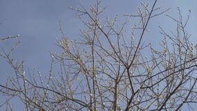 Os ramos de uma árvore com os botões frescos que balançam no vento contra o céu azul Conceito: mola, vida nova, frescor filme