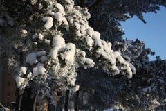 Os ramos de uma árvore de Natal na neve Imagem de Stock Royalty Free