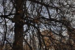 Os ramos de uma árvore de Linden Imagens de Stock Royalty Free