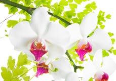 Os ramos de uma orquídea e de uma samambaia são isolados Fotos de Stock Royalty Free