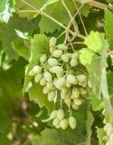 Os ramos de uvas verdes novas com folhas fotos de stock