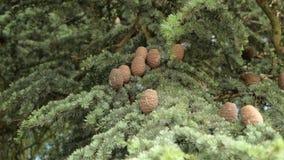 Os ramos do abeto com cones balan?am no vento video estoque