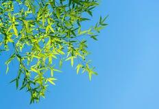 Os ramos do bambu contra o céu na luz solar Fotos de Stock Royalty Free