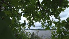 Os ramos do carvalho novo que balança no vento Carvalho bonito no jardim que balança no vento, mau tempo e filme