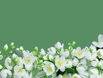 Os ramos do jasmim de florescência são colocados belamente na borda inferior de um tiro horizontal É isolado em uma parte traseir fotos de stock royalty free