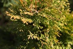 Os ramos do Tui verde são iluminados pela luz solar fotos de stock royalty free