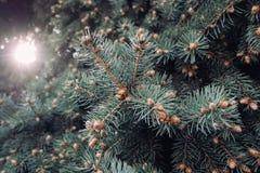 Os ramos do verde do abeto vermelho exteriores fotografia de stock