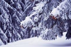 Os ramos dos abeto enormes cobertos com a neve Imagem de Stock