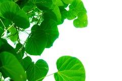 Os ramos e as folhas de árvore são verdes Fotos de Stock Royalty Free