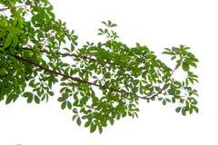Os ramos e as folhas são verdes em um fundo branco Foto de Stock