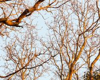 os ramos escuros do por do sol da luz solar dourados iluminam acima a textura desencapada da casca imagem de stock royalty free