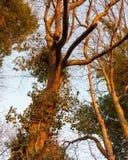 os ramos escuros do por do sol da luz solar dourados iluminam acima a textura desencapada da casca imagem de stock