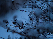 Os ramos na neve Imagem de Stock