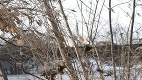 Os ramos secos com os restos da folha agitam no vento filme