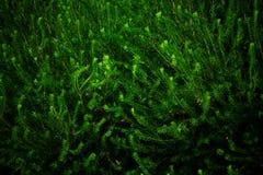 Os ramos Spruce enchem o quadro matizado Fotografia de Stock