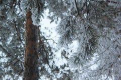Os ramos verdes do pinho cobriram a neve e a geada Fotos de Stock