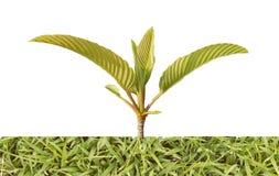 Os ramos verdes tropicais com a grama islolated nos fundos brancos fotografia de stock royalty free