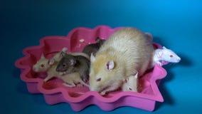 Os ratos bege e pretos pouco do bebê e sua mãe grande com olhos vermelhos comem o queijo que senta-se em uma placa cor-de-rosa em vídeos de arquivo