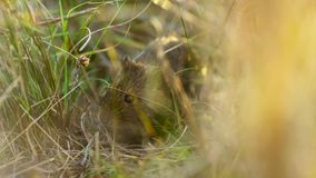 Os ratos do sul do vlei escondem na grama do predador, savana, África fotos de stock royalty free
