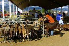 Os rebanhos animais introduzem no mercado, Zaachila Fotografia de Stock Royalty Free