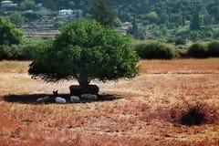 Os rebanhos animais sob a árvore sombreiam Fotos de Stock Royalty Free