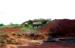 Os rebanhos do búfalo de água alimentam na grama Foto de Stock